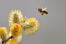 Bee visiting a willow flower