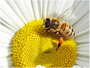 A bee on a daisy